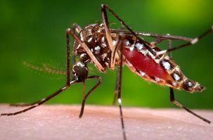 635931303154797117 zika mosquito