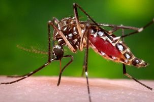 635932279205258134 zika mosquito
