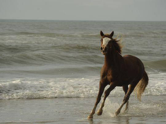 Chincoteague Ponies On Beach