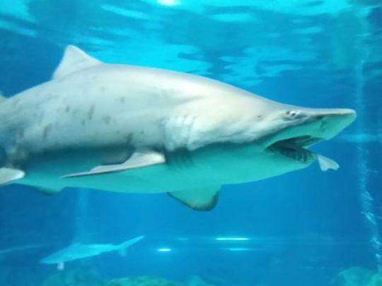 A female sand tiger shark devoured a smaller male shark
