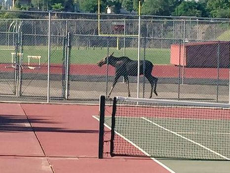 A moose wandered through the athletic fields Tuesday morning at North Central High School in Spokane.