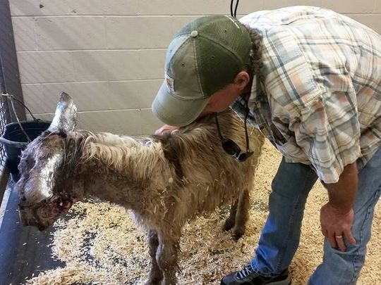 Grady the miniature donkey was attacked by pit bulls